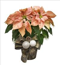 Gold Accent Poinsettia by McAdams Floral, your Victoria, Texas (TX) Florist