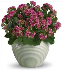 Bountiful Kalanchoe by McAdams Floral, your Victoria, Texas (TX) Florist