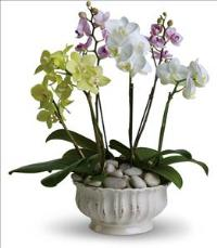 Regal Orchids by McAdams Floral, your Victoria, Texas (TX) Florist