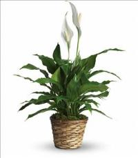 Simply Elegant Spathiphyllum - Small by McAdams Floral, your Victoria, Texas (TX) Florist