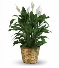 Simply Elegant Spathiphyllum - Large by McAdams Floral, your Victoria, Texas (TX) Florist