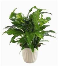 """Peace Lily"" Spathiphyllum Plant by McAdams Floral, your Victoria, Texas (TX) Florist"