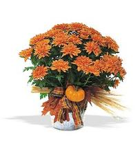 Bronze Cushion Mum Plant by McAdams Floral, your Victoria, Texas (TX) Florist