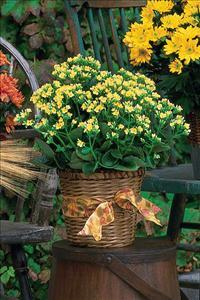 Yellow Kalanchoe Plant by McAdams Floral, your Victoria, Texas (TX) Florist