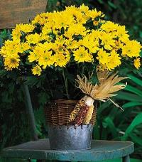 Yellow Daisy Mum Plant by McAdams Floral, your Victoria, Texas (TX) Florist