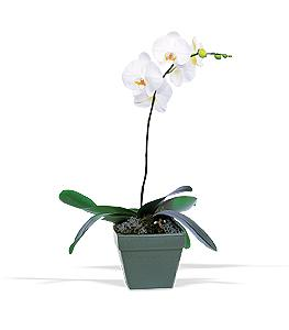 Phalaenopsis Orchid Plant by McAdams Floral, your Victoria, Texas (TX) Florist