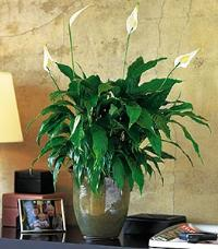 Spathiphyllum Plant by McAdams Floral, your Victoria, Texas (TX) Florist