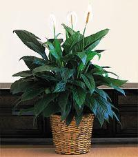 "12"" Spathiphyllum by McAdams Floral, your Victoria, Texas (TX) Florist"