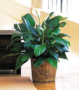 "8"" Spathiphyllum by McAdams Floral, your Victoria, Texas (TX) Florist"