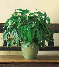 Xanadu Philodendron by McAdams Floral, your Victoria, Texas (TX) Florist