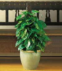 Pothos on Pole by McAdams Floral, your Victoria, Texas (TX) Florist