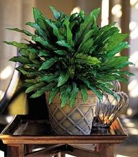 Aglaonema by McAdams Floral, your Victoria, Texas (TX) Florist