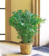 Areca Palm by McAdams Floral, your Victoria, Texas (TX) Florist