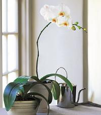 White Phalaenopsis Orchid by McAdams Floral, your Victoria, Texas (TX) Florist
