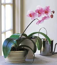 Lavender Phalaenopsis Orchid by McAdams Floral, your Victoria, Texas (TX) Florist