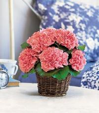 Tufted Carnation Basket by McAdams Floral, your Victoria, Texas (TX) Florist