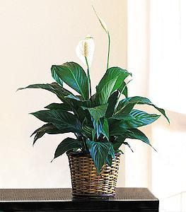 "6"" Spathiphyllum by McAdams Floral, your Victoria, Texas (TX) Florist"
