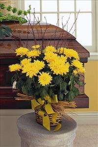 Yellow Blooming Chrysanthemum by McAdams Floral, your Victoria, Texas (TX) Florist
