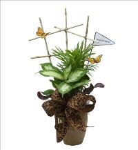 Desk Duchess Butterfly Lattice Plants by McAdams Floral, your Victoria, Texas (TX) Florist