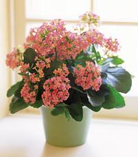 Pink Kalanchoe by McAdams Floral, your Victoria, Texas (TX) Florist