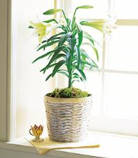 Easter Lily Plant by McAdams Floral, your Victoria, Texas (TX) Florist